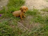 Собаки, щенки Гладкошерстная миниатюрная такса, Фото