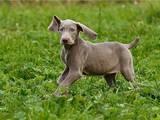 Собаки, щенки Веймарская легавая, цена 4000 Грн., Фото