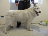 Собаки, щенки Белая Швейцарская овчарка, цена 3700 Грн., Фото