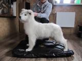 Собаки, щенки Белая Швейцарская овчарка, цена 3400 Грн., Фото