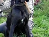 Собаки, щенки Немецкий дог, цена 2000 Грн., Фото