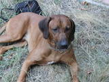 Собаки, щенята Родезійського ріджбек, Фото