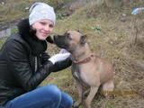 Собаки, щенки Американский стаффордширский терьер, Фото