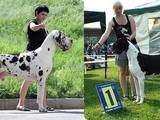 Собаки, щенята Німецький дог, ціна 6500 Грн., Фото