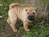 Собаки, щенята Шарпей, ціна 2500 Грн., Фото