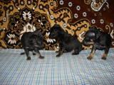 Собаки, щенята Пінчер, ціна 1000 Грн., Фото