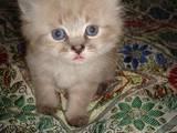 Кішки, кошенята Тайська, ціна 250 Грн., Фото