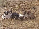 Собаки, щенята Безпорідна, ціна 80 Грн., Фото