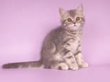 Кішки, кошенята Шотландська висловуха, Фото