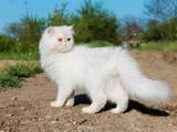 Кошки, котята Персидская, Фото