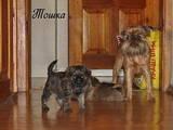 Собаки, щенки Брюссельский гриффон, цена 6000 Грн., Фото