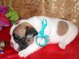 Собаки, щенки Французский бульдог, цена 3000 Грн., Фото