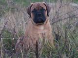Собаки, щенки Бульмастиф, цена 3500 Грн., Фото