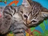 Кішки, кошенята Екзотична короткошерста, ціна 100 Грн., Фото