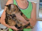 Кішки, кошенята Курильський бобтейл, ціна 500 Грн., Фото