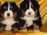 Собаки, щенята Гірський собака Берна, ціна 3000 Грн., Фото