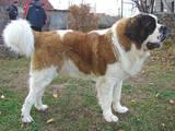 Собаки, щенята Московська сторожова, ціна 2400 Грн., Фото