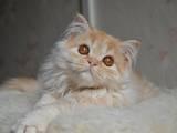 Кішки, кошенята Highland Fold, ціна 1600 Грн., Фото
