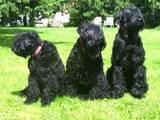 Собаки, щенки Черный терьер, цена 2000 Грн., Фото