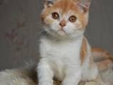 Кошки, котята Хайленд Фолд, цена 1600 Грн., Фото