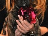 Собаки, щенята Південноафриканський Бурбуль, ціна 7000 Грн., Фото