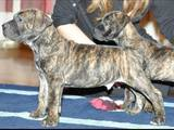 Собаки, щенки Южноафриканский бурбуль, цена 7000 Грн., Фото