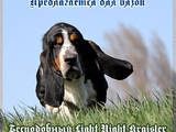 Собаки, щенята Бассет, ціна 6000 Грн., Фото