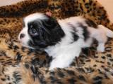 Собаки, щенята Японський хіни, ціна 1200 Грн., Фото