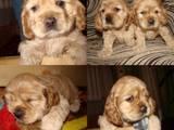 Собаки, щенята Американський коккер, ціна 1400 Грн., Фото