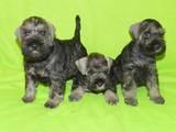 Собаки, щенки Цвергшнауцер, цена 3500 Грн., Фото