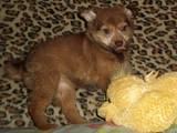 Собаки, щенята Малий шпіц, ціна 150 Грн., Фото