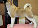 Собаки, щенята Американський акіта, ціна 8000 Грн., Фото