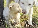 Собаки, щенки Лабрадор ретривер, цена 1200 Грн., Фото