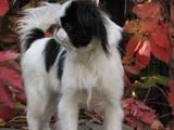 Собаки, щенята Японський хіни, ціна 600 Грн., Фото