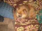 Собаки, щенки Карликовый шпиц, цена 3500 Грн., Фото