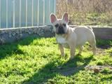 Собаки, щенки Французский бульдог, цена 4000 Грн., Фото