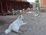 Собаки, щенята Аляска маламут, ціна 20000 Грн., Фото