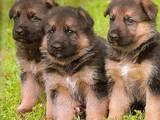 Собаки, щенки Немецкая овчарка, цена 600 Грн., Фото