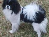 Собаки, щенята Японський хіни, ціна 500 Грн., Фото
