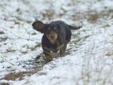 Собаки, щенята Довгошерста мініатюрна такса, ціна 10 Грн., Фото