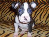Собаки, щенята Стаффордширський бультер'єр, ціна 1000 Грн., Фото
