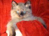 Кошки, котята Невская маскарадная, цена 700 Грн., Фото