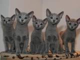 Кішки, кошенята Нeбелунг, ціна 500 Грн., Фото