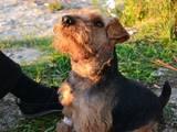 Собаки, щенки Вельштерьер, цена 1300 Грн., Фото