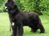 Собаки, щенята Ньюфаундленд, ціна 3000 Грн., Фото