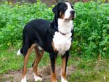 Собаки, щенята Гірський собака Берна, ціна 2000 Грн., Фото