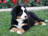 Собаки, щенки Бернская горная собака, цена 2000 Грн., Фото