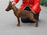Собаки, щенки Пинчер, цена 5000 Грн., Фото