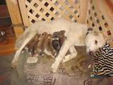 Собаки, щенята Східно-сибірська лайка, Фото