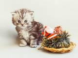 Кошки, котята Хайленд Фолд, цена 3000 Грн., Фото
